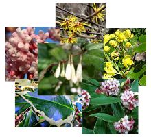 Arbustes pour l'hiver (persistants, décoratifs, ou à floraison parfumée)