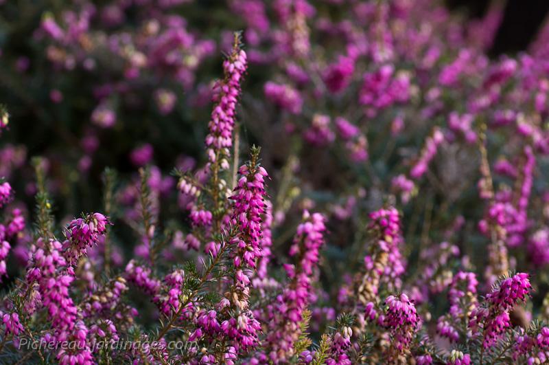 La plante du mois la bruy re floraison d 39 hiver for Floraison hiver
