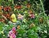 Le jardin de cottage – 3 : les plantes