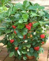 fraisier-en-pot