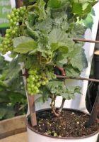 vigne-en-pot