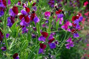 Sweetpeas_flowers_image