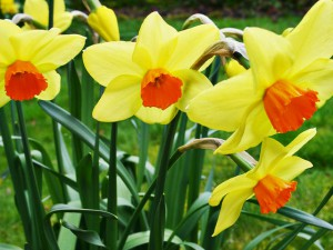 640px-03270001_Welsh_Daffodils