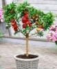 Les fruitiers qui se plaisent en pot